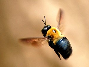 What You Need To Know About Carpenter Bees