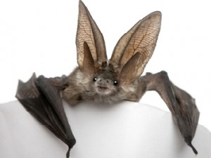 Preventing and Controling Bats in Your Home