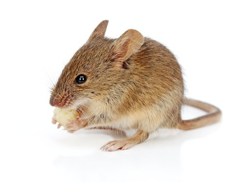 House Mice: Signs To Watch For