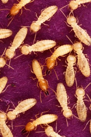 North Carolina's Super Termite