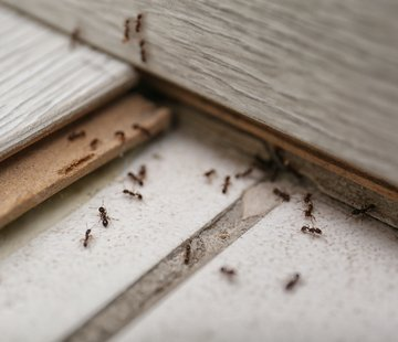 Don't Count Ants Out in Winter