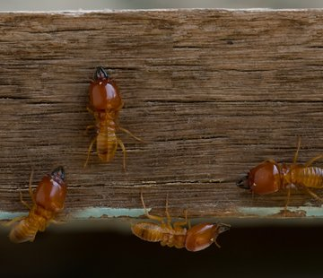 Termite Damage and Repair